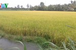 Giải pháp hữu hiệu cứu lúa khỏi hạn, mặn ở Đồng bằng sông Cửu Long