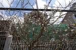 Nhộn nhịp hoa đào, mai rừng về phố