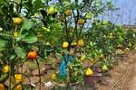 Cận cảnh vườn cây ngũ quả chơi Tết đắt khách ở Hà Nội