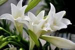 Tháng 4 Hà Nội: Hoa loa kèn nở trắng tinh khôi