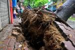 Hà Nội: Cây xà cừ ngã đổ sập mái nhà dân