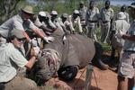Tiêm độc tố, sừng tê giác gây nguy hiểm đến tính mạng con người