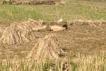 Phát hiện một xác chết trong tư thế cởi trần, úp mặt giữa cánh đồng