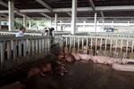 Cơ sở bán heo cho Vissan bị buộc tiêu hủy 80 con heo có chất cấm