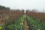 Toàn cảnh làng hoa, cây cảnh Hà Nội thấp thỏm đón Tết