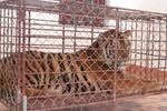 Nghệ An: Bắt thêm một vụ nuôi nhốt hổ trái phép ngày đầu năm mới