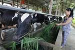 Vinamilk thông tin về sự việc một hộ chăn nuôi đổ sữa tại Nghệ An