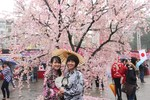 Lễ hội Hoa Anh Đào Nhật Bản tại Hà Nội bắt đầu từ ngày 16/4