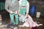 NTD bối rối về những cảnh báo về thịt heo tiêm thuốc an thần