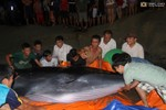 Hàng trăm người giải cứu thành công cá voi mắc cạn trên đảo Cô Tô