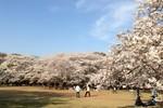 Ngắm hình ảnh tuyệt vời của  hoa anh đào ở Nhật Bản