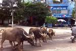 Lạ mắt với cảnh trâu bò tung tăng dạo phố Hà Nội