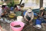 Thương lái Trung Quốc ồ ạt thu mua cả trứng ốc bươu vàng