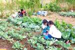 Lên Đồng Văn xem học sinh tiểu học trồng rau, nuôi lợn sau giờ học
