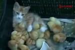Xúc động mèo mẹ chăm sóc đàn gà con