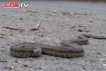 Dân phát hoảng vì hàng trăm con rắn độc đủ loại bò qua đường