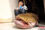Câu được cá trê vàng 22,5 kg, chuyên gia đề nghị phóng sinh