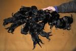 Chó ngao Tây Tạng đẻ 20 con một lứa