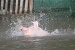 """Lợn nhảy cầu, tập bơi - """"chiêu mới"""" của nông dân Trung Quốc"""