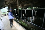 Vinamilk lấy sữa tươi ở đâu để cung cấp cho Sữa học đường Hà Nội?