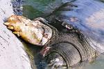 """""""Cụ rùa"""" Hồ Gươm được tăng mức bảo vệ trong Công ước quốc tế"""