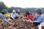 Học trò Bình Liêu giúp dân thu hoạch củ dong bán trước Tết nguyên đán