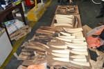 Hành khách giấu 77 chiếc ngà voi trong chuyến bay từ Doha về Việt Nam