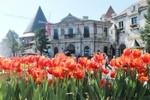 Chiêm ngưỡng những sắc màu tulip độc lạ chỉ có tại Bà Nà Tết này