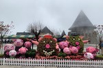 Du khách phấn khích với đàn heo xinh xắn năm Kỷ Hợi trên đỉnh Núi Chúa