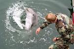 Có hay không việc cá heo được huấn luyện thành sát thủ giết người?
