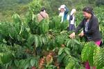 Giải thể một loạt công ty cà phê tại tỉnh Đắk Lắk