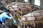 Đẩy nhanh các biện pháp đàm phán tìm thị trường xuất khẩu sản phẩm chăn nuôi