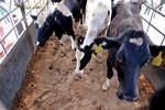 Vinamilk nhập hơn 2000 con bò sữa cao sản từ Mỹ