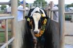 Tập đoàn TH đón 1.800 bò sữa cao sản từ Mỹ về Việt Nam