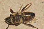 Ong thây ma bao vây Bờ Tây nước Mỹ vì nhiễm ký sinh trùng
