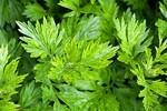 Bài thuốc, món ngon chữa bệnh từ cây ngải cứu
