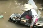 Cảnh báo dịch hại lớn khi thương lái ồ ạt mua ốc bươu vàng