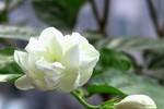 8 bài thuốc chữa bệnh từ hoa nhài