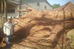 Bí ẩn bao trùm hai cây bàng đá khổng lồ ở Sóc Trăng