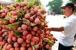 Bác tin quả vải Trung Quốc xuất ngược về Việt Nam