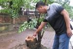 Lợi dụng mưa bão, kẻ gian đốn hạ cây gỗ Sưa quý