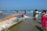 Phát hiện xác cá Voi khổng lồ dạt vào bờ biển Thanh Hóa