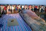 Cận cảnh lễ an táng cá voi khổng lồ dạt vào bờ biển Thanh Hóa