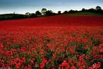 Ảnh: Cánh đồng hoa anh túc đỏ như máu tại Anh