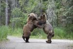 Gấu xám Bắc Mỹ cận chiến tranh giành thức ăn