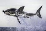 Khoảnh khắc cá mập ngoạm chặt hải cẩu nhảy lên mặt nước