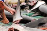 Ảnh: Cảnh tượng đẫm máu từ ngành khai thác vây cá mập