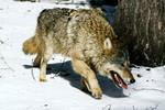 Chính quyền Yakytia ở Siberia săn khẩn cấp 3.000 con sói