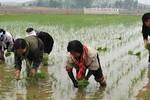 Rodong Sinmun kêu gọi dân Triều Tiên thi đua trồng lúa