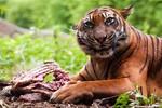 Ấn Độ truy lùng hổ cái tấn công giết chết 9 người